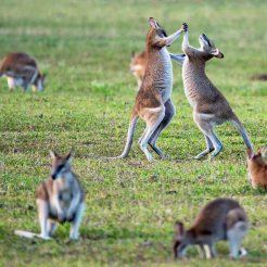 Two wallabies playfully fighting
